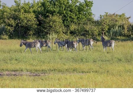 A Harem Of Zebra Graze As They Move Through The Okavango Delta In The Early Morning Sunshine.