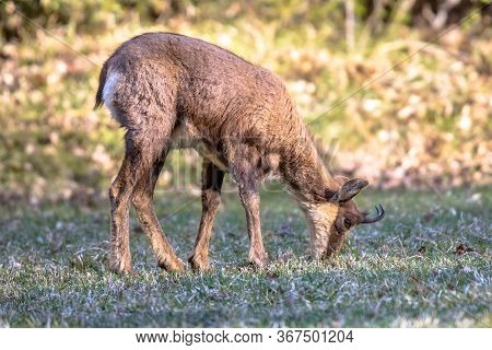 Pyrenean Chamois (rupicapra Rupicapra) Is A Species Of Goat Antelope Native To Mountains In Europe,