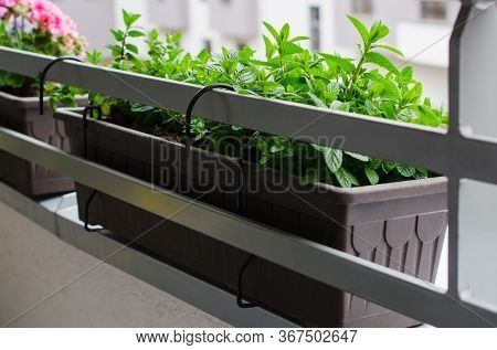 Fresh Mint Growing On Balcony. Flower Pots Attached To Railing Of Balcony.