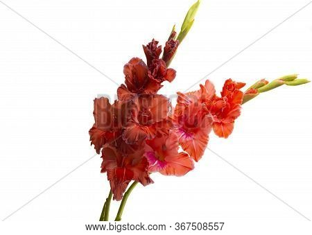 Gladiolus  Red Flower Isolated On White Background
