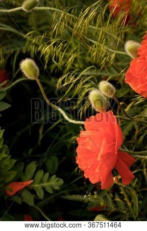Flowers Red Poppies Blossom On Wild Field. Beautiful Field Red Poppies With Selective Focus. Soft Li
