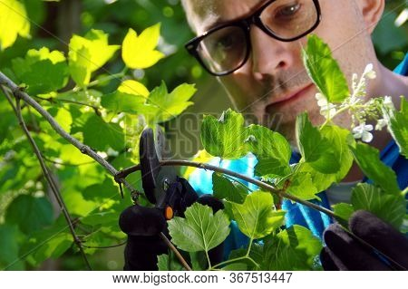 A Gardener Cut Branches In An Orchard. The Man Cares For Plants In The Garden. Spring Work With Prun