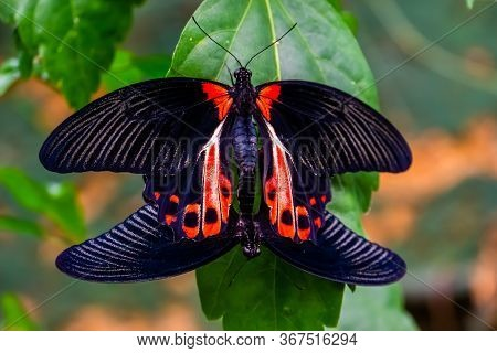 Red Scarlet Butterfly Couple Mating, Tropical Insect Specie From The Philippines, Asia