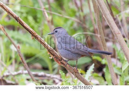 Gray Catbird (dumetella Carolinensis) Pirching On A Tree Branch. Oak Harbor.magee Marsh Wildlife Are