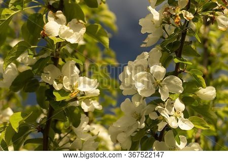 The Natural Background From Aple Tree With Colour By Springtime. Blossom Tree In Garden At Solar Day