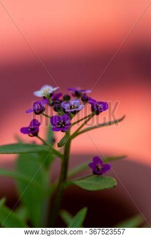 Violet Lobularia Maritima Flowers, Known As Alyssum Maritimum, Sweet Alyssum Or Sweet Alison