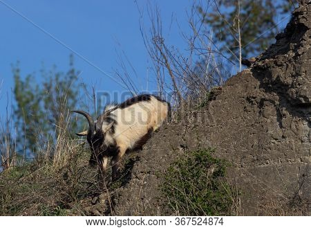 Wild Goat Nilgiri Tahr At Rajamalai Hills In Eravikulam National Park Near