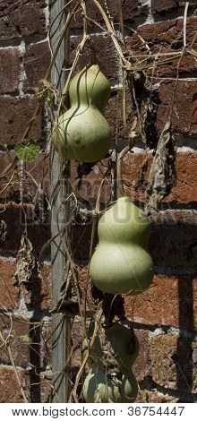 Gourds Just Hanging Around.