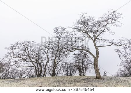 Leafless Trees In Hoar Frost In Winter Time In The Park