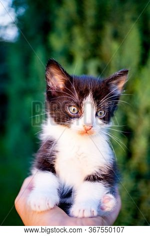 sweet little black and white kitty in a human palm