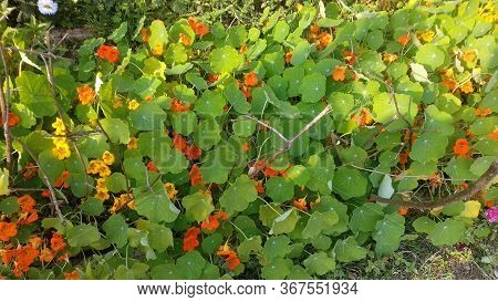 Beautiful Indian Cress. The Young Flower Buds And Fruit Are Sometimes Used As Seasoning. Is A Genus