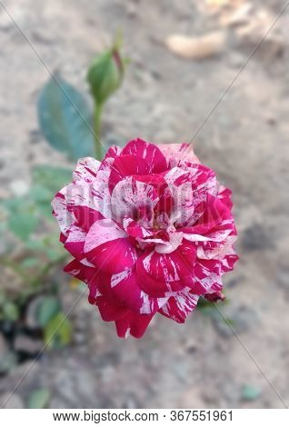 Beautiful Multi Color Rose. Variations Of Colors Such As Reddish White,  Whitish Red, Soft Creamy Pi