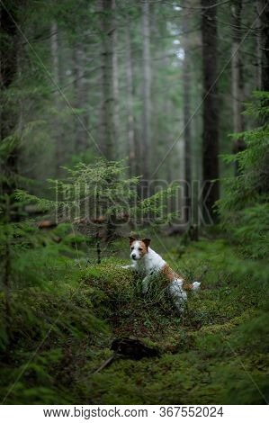 Dog In The Green Forest. Jack Russell Terrier In Nature Among The Trees. Walk With A Pet In Summer