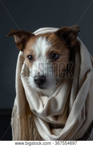 Dog In A Scarf. The Pet Hid. Jack Russell Terrier. With Warm Cloth