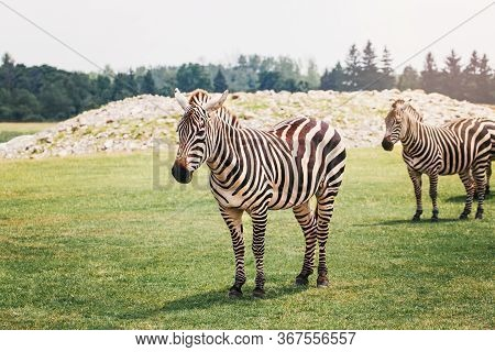 A Herd Of Plains Zebra Standing Together In Savanna Park On Summer Day. Exotic African Black-and-whi