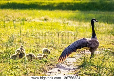 Cute Baby Canadian Gosling Birds In The Wild At Spring