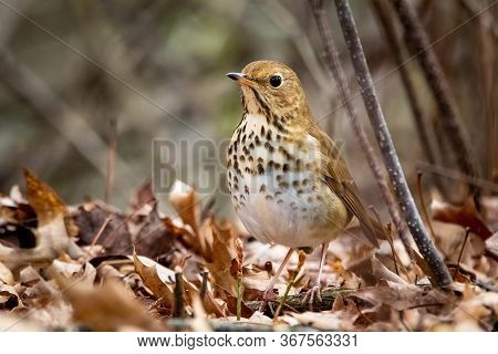 Cute Hermit Thrush Bird Close Up Portrait