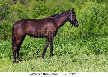 Red Horse With Long Mane In Flower Field