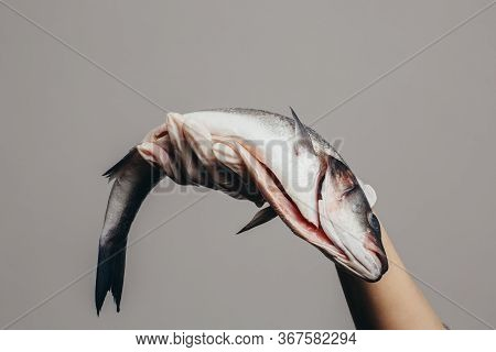 A Hand In A Rubber Glove Holds A Gutted Sea Bass Fish. Close-up, Place For An Inscription, Copy Spac