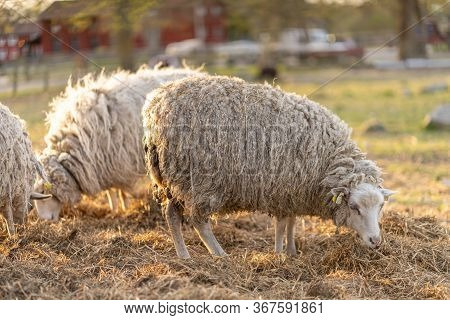 Image Of Sheep On The Coutry Side Farm During Sunset