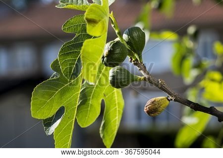 Fig Flower Tree Disease. Dried Small Dark Brown Fig Close To Baby Fresh Fruit