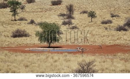 Antelope Drinking At A Waterhole In Arid Grassland Savannah Dotted With Scrub In Namibia