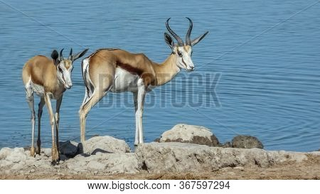 Pair Of Horned Antelope (impala) Standing On Rocky Shore At Rippling Waters Edge During The Daytime
