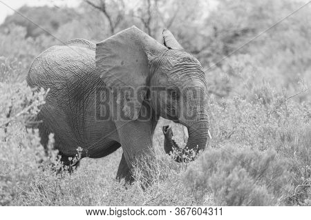 A Black And White Image Of A Baby Elephant In South Africa