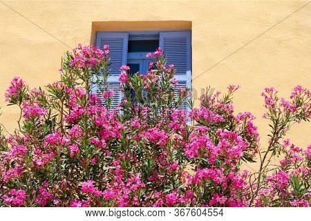 Lovely Blooming Bright Pink Oleander Flowers With Green Leaves Nearby Of Yellow Wall. Large Pink Ole