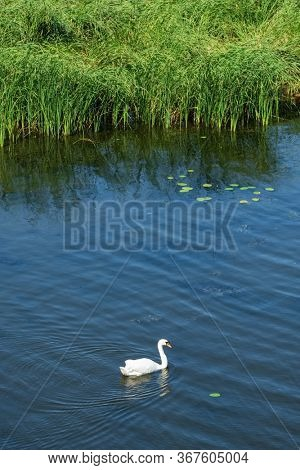 Beautiful wild white swan on the river. Summer landscape with swan on the water