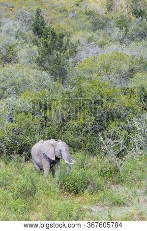 Portrait Format Image Of A Solitary African Elephant Browsing At The Edge Of A Large Forest In South