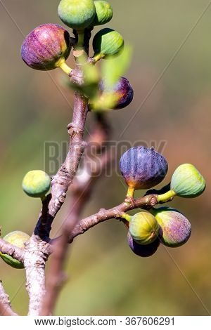 Figs On The Branch Of A Fig Tree.