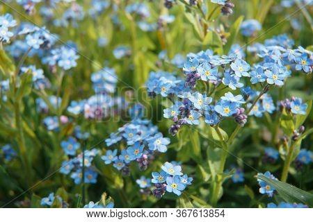 Background Of The Many Beautiful Blue Myosotis Arvensis