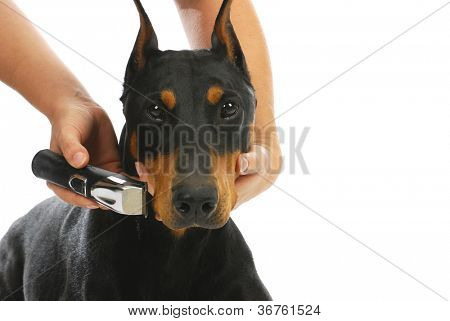 shaving dogs face - doberman pinscher getting whiskers shaved poster