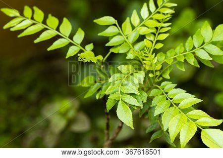 Curry Leaves. Bunch Of Fresh Indian Curry Leaves. Curry Leaf. Very Popular Used For Cooking In South