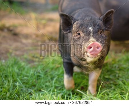 Little Pig Runs Through The Green Grass. Black Pig With A Pink Heel. Cute Pig, Black, Looks At You.