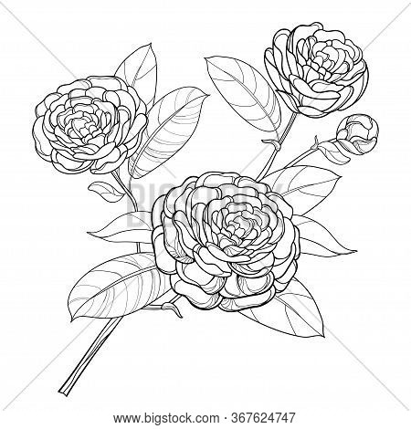 Vector Branch With Outline Open Camellia Flower, Bud And Leaf In Black Isolated On White Background.