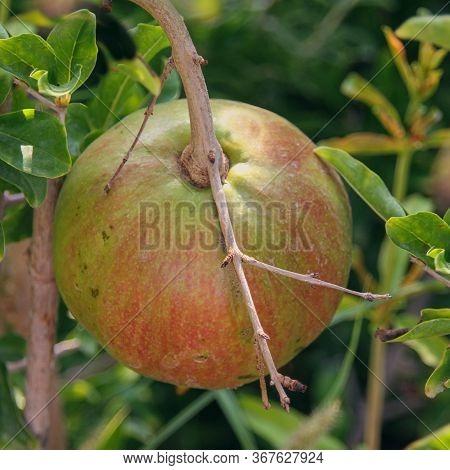 Maturing Pomegranate, Species Punica Granatum, Fruit Closeup On  Shrub In The Garden. Unripened Pome