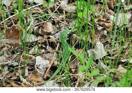 A Quick Lizard, Or A Nimble Lizard, Or An Ordinary Lizard (lat. Lacerta Agilis) Is A Species Of Liza