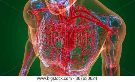 Human Heart With Circulatory System Anatomy For Medical Concept 3d Illustration