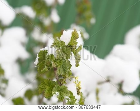In Spring, Snow Fell On Green Leaves. A Phenomenon Of Nature. Branches Of Currants With Leaves Cover