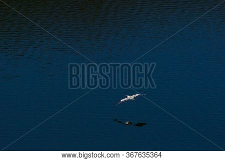 Gray Heron Flies Over The Dniester River