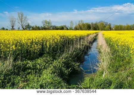 Yellow Rape Field And Drainage Ditch. Beautiful Rural Landscape In Poland