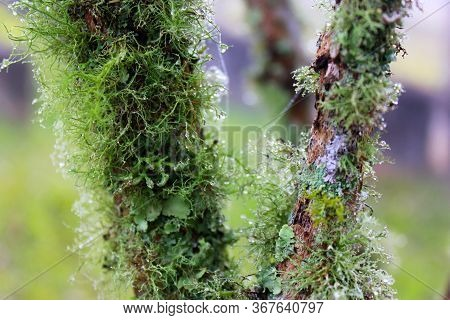 Closeup Of Two Tree  Branches With Lichens ( Usnea Filipendula). Photo Taken In The Morning With The