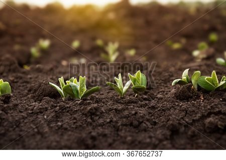 The First Sprouts Of A Soybean Plant Stretch Toward The Sun In An Agricultural Field. Young Soybean