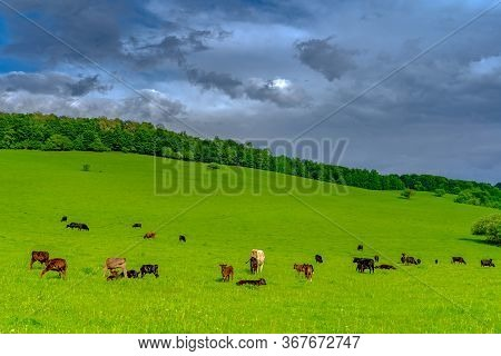 Meadows On Which Cows Graze.meadows On Which Cows Graze