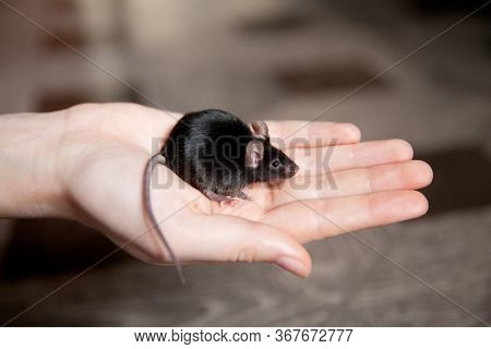 Mouse On The Palm. Hand Mouse Sitting On A Hand. Black Mouse.
