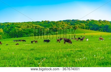 Cows Graze In The Meadow.cows Graze In The Meadow