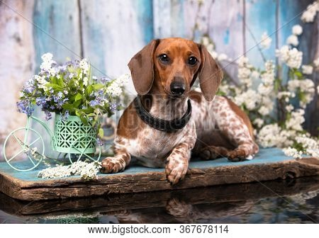 dachshund dog piebald and flowers