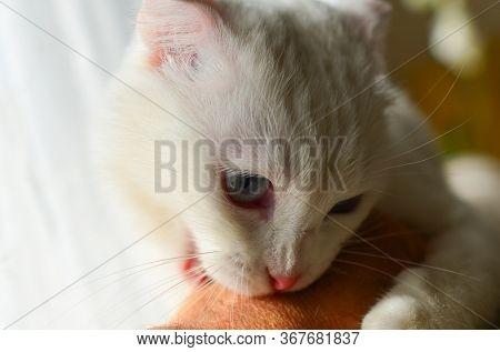 White Scottish fold cat love bites a hand